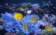 Eight-banded Butterflyfish Wallpaper