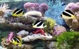 Indian Butterflyfish Wallpaper
